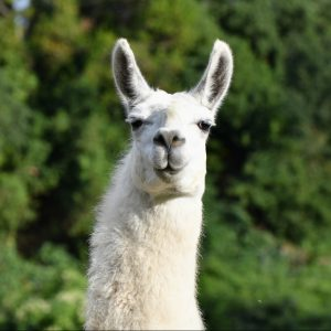 WIT@Work faces a new competitor: Llamas